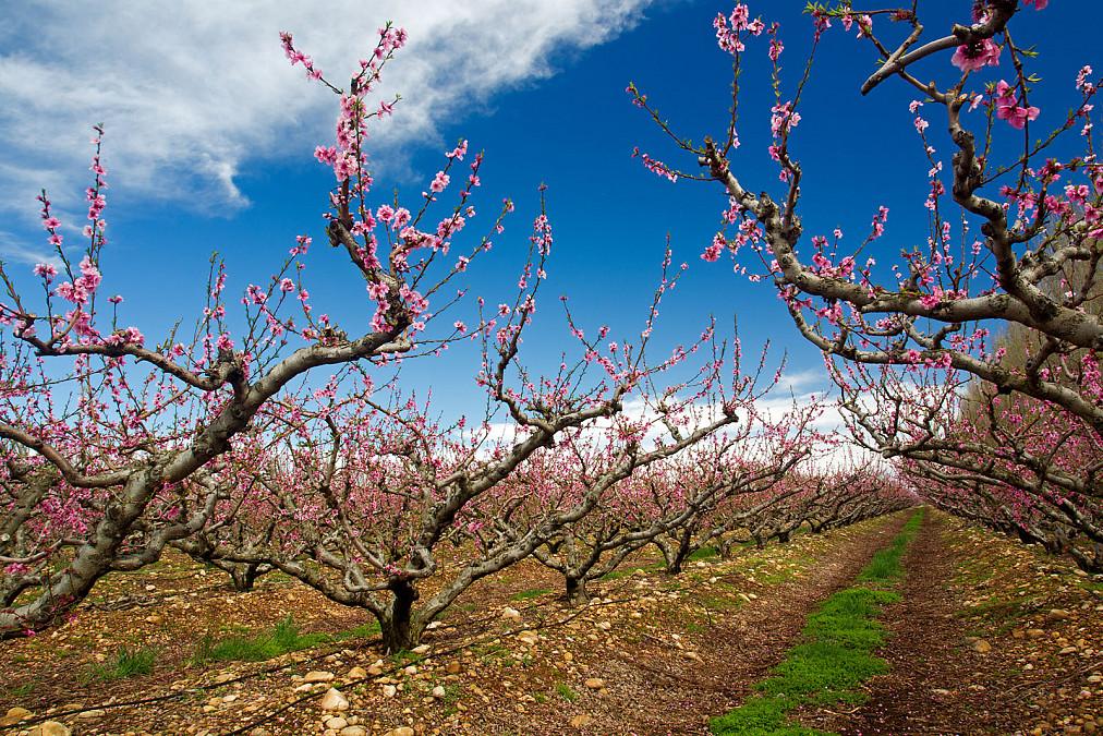 Blüte Obstbäume Provence